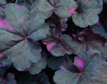 Heuchera - Purpurglöckchen 'Midnight Rose'