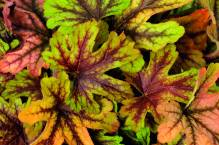 Heuchera / Hecherella - Purpurglöckchen 'Alabama Sunrise'