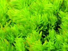 Sedum Lemon Ball - hellgrüne Polster-Fetthenne im Topf 12 cm