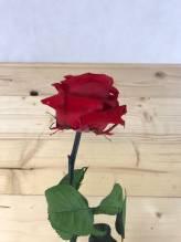 Endless Rose