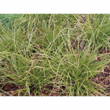 Carex Howardii Phoenix green, Segge Phoenix green im Topf 11 cm