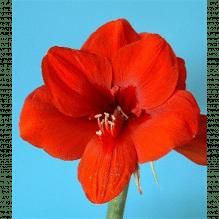 Amaryllis - Hippeastrum, rot