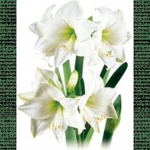Amaryllis - Hippeastrum, weiß