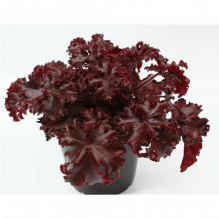 Heuchera - Purpurglöckchen 'Melting Fire'
