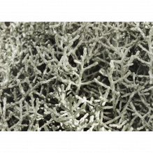Calocephalus brownii - Texasgras - Stacheldraht, im Topf in Gärtnerqualität - Variante: 7 cm