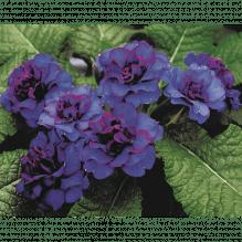 Rosen-Primel, Primel BELARINA 'Blue Champion', Primula vulgaris, blau, im Topf 12 cm - Variante: 12 cm