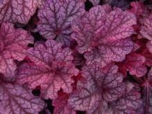 Heuchera - Purpurglöckchen 'Beautiful Dancer' Neuheit 2016