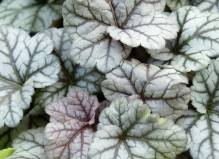Heuchera - Purpurglöckchen 'Cinnabar Silver' Neuheit 2017