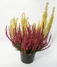 Herbstgruß - Calluna Arborea Mix im Topf T13