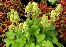 Grünpflanzen, Büsche & Sträucher Blumen Eber / Kientzler
