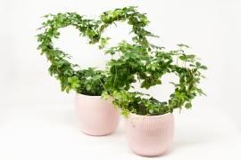 Grünpflanzen, Büsche & Sträucher Kränze & Girlanden Schenken Am Blummegäertchen