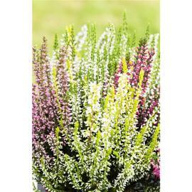 Grünpflanzen, Büsche & Sträucher Gardengirls®
