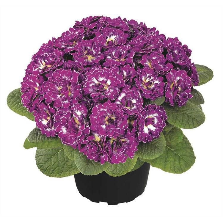 Rosenprimel Belarina 'Purple Dawn' - Primula vulgaris, lila-weiß gefüllt, im Topf 12 cm, winterhart, Neuheit 2020 - 3 Töpfe a 12 cm