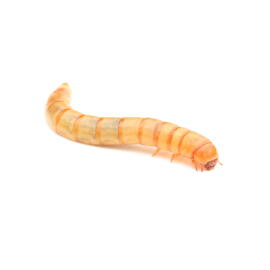 Animaux vivants Mehlwürmer